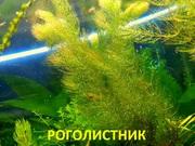 Роголистник и др. растения. НАБОРЫ растений для запуска акваса.