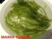 Маяка речная и др. растения. НАБОРЫ растений для запуска акваса