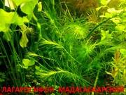 Лагарасифон мадагаскарский и др. растения. НАБОРЫ растений для запуска