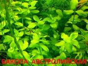 Бакопа австролийская и др. растения. НАБОРЫ растений для запуска аквас