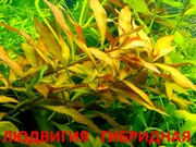 Людвигия гибридная и др. растения. НАБОРЫ растений для запуска акваса