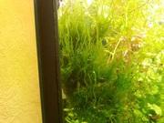 Мох стринг и др. растения. НАБОРЫ растений для запуска аквас