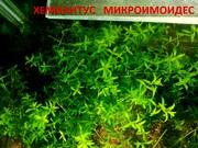 Хемиантус микроимоидес и др. растения. НАБОРЫ растений для запуска акв