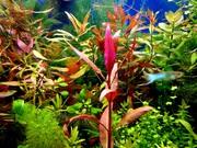 ЯПОНСКАЯ голубая(стандартная) гуппи -- чистая линия. аквариумные РЫБЫ