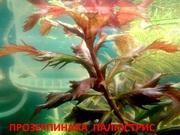 Прозерпинака палюстрис и др. растения -- НАБОРЫ растений для запуска а
