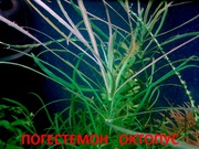 Погестемон октопус и др растения ---- НАБОРЫ растений для запуска