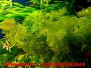 Лимнофила седячецветковая  --- НАБОРЫ растений для запуска