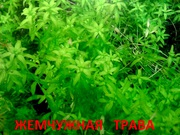 Жемчужная трава и др. растения -----  НАБОРЫ растений для запуска