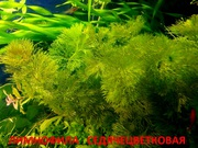 Лимнофила седячецветковая  ---- НАБОРЫ растений для запуска