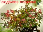 Людвигия ползучая и др. растения. НАБОРЫ растений для запуска акваса-