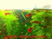 КРАСНАЯ --- АЛАЯ ---- гуппи ------- чистая линия. аквариумные РЫБЫ