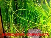 Валиснерия спиральная  растения ---- НАБОРЫ растений для запуска-