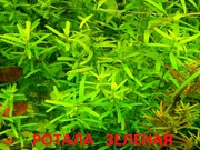 Ротала зеленая и др. растения ----- НАБОРЫ растений для запуска----