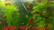 КРАСНАЯ --- АЛАЯ -- гуппи --- чистая линия. аквариумные РЫБЫ----