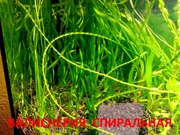 Валиснерия спиральная  растения - НАБОРЫ растений для запуска- -
