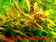 Людвигия гибридная - НАБОРЫ растений для запуска акваса-----