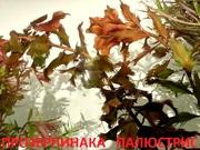 Прозерпинака палюстрис и др. растения. НАБОРЫ растений для запуска=