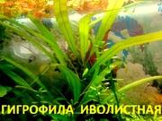 Гигрофила иволистная и др. растения -- НАБОРЫ растений для запуска-