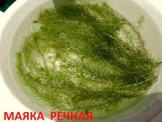 Маяка речная и др. растения -- НАБОРЫ растений для запуска акваса-