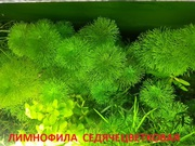Лимнофила седячецветковая и д растения -- НАБОРЫ растений для запуска-