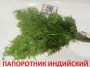 Папоротник индийский -- НАБОРЫ растений для запуска====