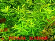 Ротала зеленая и др. растения. НАБОРЫ растений для запуска акваса+