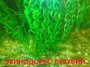 Эхинодорус везувий - НАБОРЫ растений для запуска-----