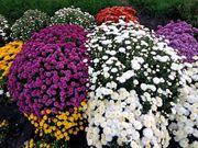 Хризантема ''Мультифлора'' для сада