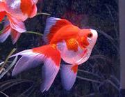 Риукин (золотая рыбка ).