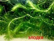 Элодея канадская и др. растения - НАБОРЫ растений для запуска-