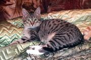 Миксон - котенок в дар