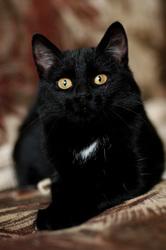 ЛИЛИТ - кошка в дар