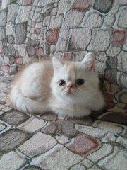 Озорной экзотический котенок