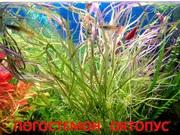 Погестемон  октопус  и другие  растения ----- НАБОРЫ растений для запуска---