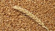 зерно фуражное ( рожь)