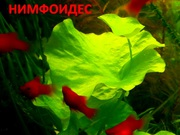 Нимфоидес  и др. растения --- НАБОРЫ растений для запуска---