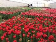 Тюльпаны оптом в Беларуси
