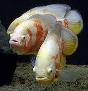 астронотус тигровый альбино