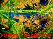 Ротала  и др. растения - НАБОРЫ растений для запуска