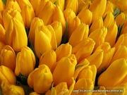 Тюльпаны оптом белорусского производства.