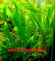 Криптокорина  апогенолистная  ---- НАБОРЫ растений для запуска---
