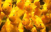жёлтый - попугай цихлида