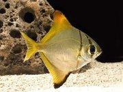 монадактил -желтый