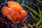 цихлида оранжевый попугай