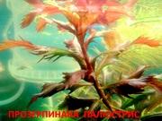 Прозерпинака  палюстрис  и др. растения ------ НАБОРЫ растений для зап