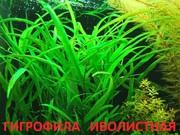 Гигрофила иволистная  и др. растения - НАБОРЫ растений для запуска--