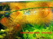 Перестолистник красный ---- НАБОРЫ растений для запуска