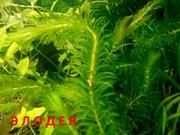 Элодея  канадская  и др. растения --- НАБОРЫ растений для запуска---