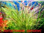 Погестемон  октопус  и другие  растения ----- НАБОРЫ растений для запу