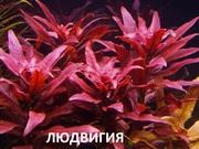 Людвигия  гландулоза. НАБОРЫ растений для запуска---------------
